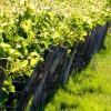 Vignes en Anjou